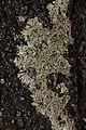 Protoparmeliopsis muralis 125829451.jpg