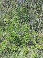 Prunus ×eminens sl1.jpg
