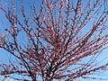Prunus persica in April in Rome 05.JPG