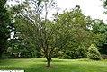 Prunus x incam Okame 5zz.jpg