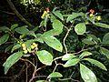 Psychotria capensis, Burmanbos.jpg