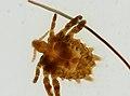 Pthirus pubis (YPM IZ 093655).jpeg