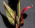 Pucciniastrum epilobii-4.jpg