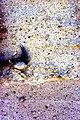 Pumice-rich Tuff Wildhorse Springs USGS ofr-98-0524.jpg