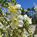 Purshia stansburyana. Rosaceae - Flickr - gailhampshire.jpg