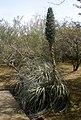 Puya berteroniana 1a.jpg