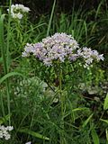 Pycnanthemum tenuifolium - Narrow Leaved Mountain Mint 2.jpg