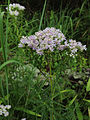 Pycnanthemum tenuifolium - Narrow Leaved Mountain Mint 2.jpg