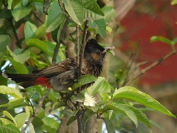 Pycnonotus cafer, Guwahati, India.jpg