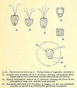 Pyramimonas inconstans cropped.jpg