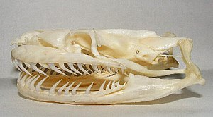 Snake skeleton - An aglyphous snake. A Burmese python skull (Python bivittatus)