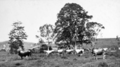 Queensland State Archives 285 Jersey Cattle on Mr F ORourkes farm Breffney at Pinbarren Noosa Shire c 1931.png