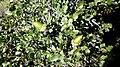 Quercus coccifera567.jpg