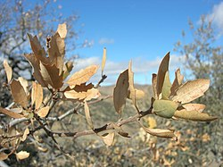 Quercus john-tuckeri - hungry valley, old ridge route.jpg