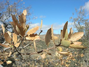 Quercus john-tuckeri - Image: Quercus john tuckeri hungry valley, old ridge route