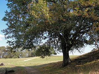 <i>Quercus kelloggii</i> California black oak (species of plant)
