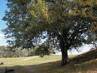 Quercus kelloggii - Image: Quercus kelloggii Las Trampas