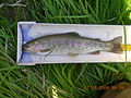 Rainbow trout SNRA 2.JPG
