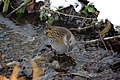 Rallus aquaticus -Daventry Country Park, Daventry, Northamptonshire, England-8.jpg