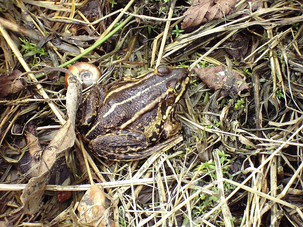 Rana arvalis.2006-04-23.uellue