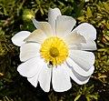 Ranunculus lyallii in Aoraki Mount Cook NP 01.jpg