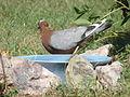 Rare Archangel Pigeon.jpg