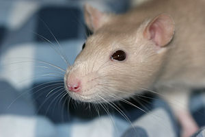 Whiskers - A pet rat clearly showing the grid-like arrangement of the macrovibrissae on the face, and the microvibrissae under the nostrils. The supraorbital vibrissae above the right eye are also visible.