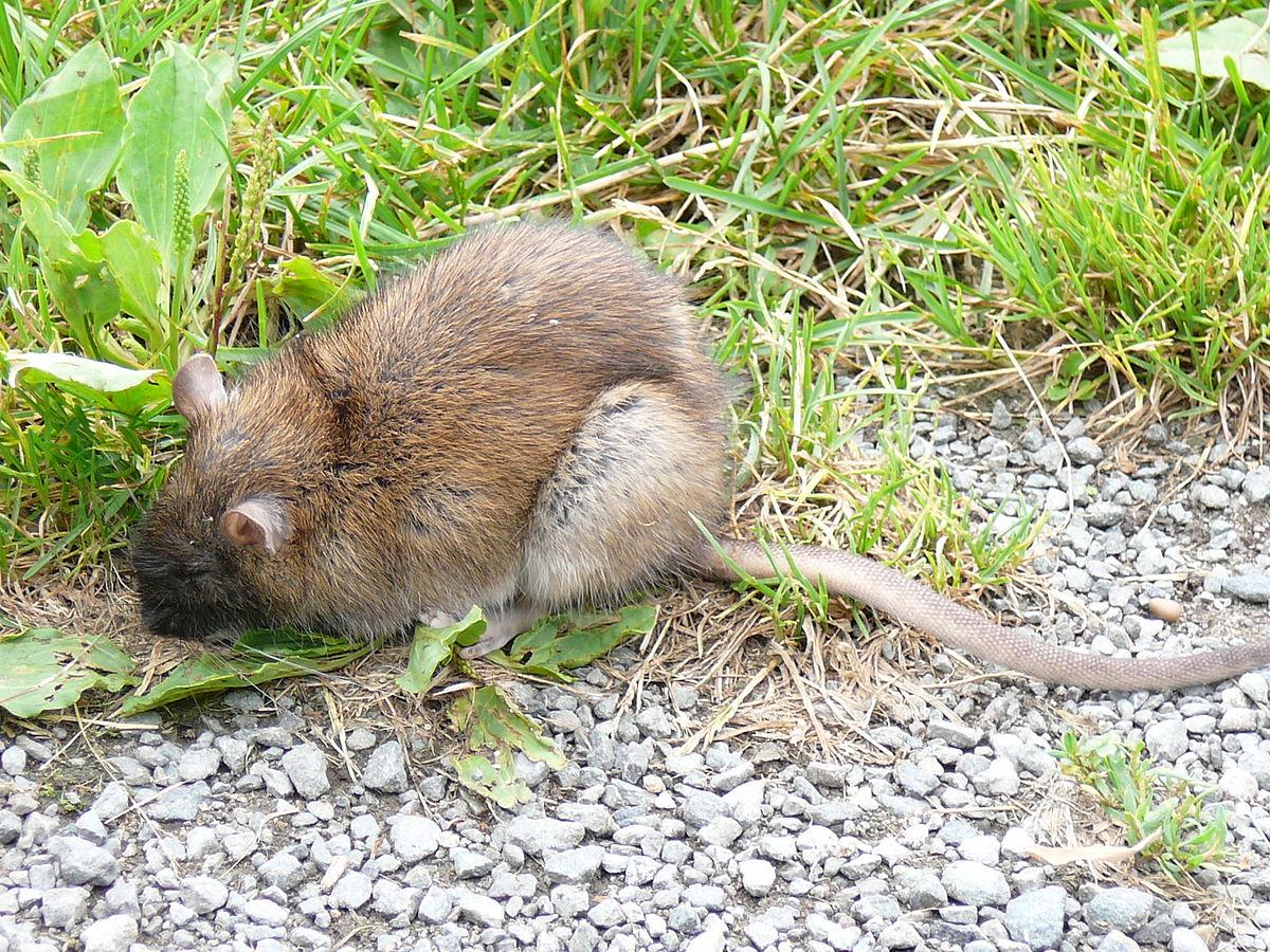 Color de la rata noruega