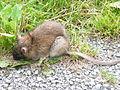 Rattus norvegicus-Rochefort.JPG