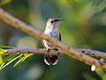 Red-billed Streamertail female RWD2.jpg
