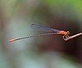 Red-breasted Longtail 1171.jpg