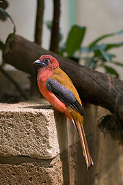 Red-headed Trogon - Voliere