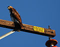Red-tailed hawk (5327481818).jpg
