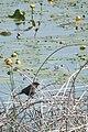 Red-winged Blackbird (Agelaius phoeniceus), Female - Big Creek National Wildlife Area 01.jpg