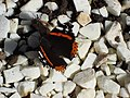 Red Admiral Butterfly - geograph.org.uk - 593350.jpg