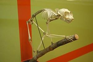 Red slender loris - Skeleton of red slender loris.