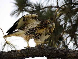 English: The hawk settled onto a branch 10 fee...