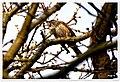 Redwing (Explored) - Flickr - pete. ^hwcp.jpg