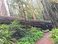 Redwood Fallen Tree with Passage.jpg