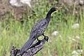 Reed cormorant (Phalacrocorax africanus) Botswana.jpg