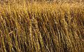 Reeds (4088835283).jpg