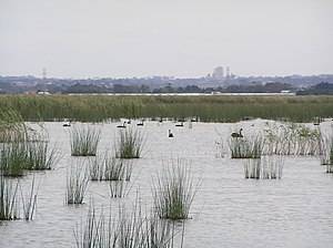 Reedy Lake - View of lake with black swans