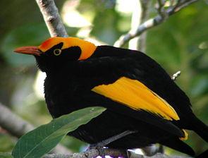 Gelbnacken-Laubenvogel (Sericulus chrysocephalus), Männchen