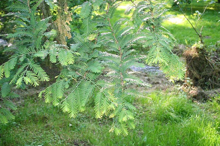 Dawn Redwood  (Metasequoia glyptostroboides).