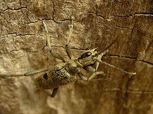Longhorn beetle - Blackspotted pliers support beetle (Rhagium mordax)