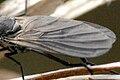 Rhamphomyia.albidiventris9.-.lindsey.jpg