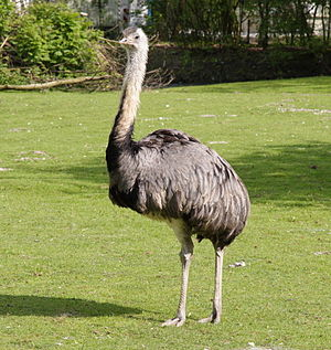 Eremopezus - Adult male American rhea (Rhea americana). E. eocaenus probably had legs longer than but about as thick as this bird.