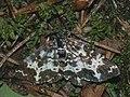 Rheumaptera hastata - Argent and sable - Ларенция берёзолистная (40064275165).jpg