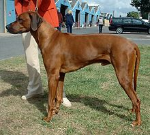 What did you do before you came on the computer? 220px-Rhodesian_Ridgeback_600
