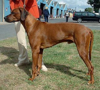 Hunting dog - Rhodesian Ridgeback